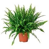 Helecho de Boston Nephrolepis Exaltata Planta Natural de Interior y Exterior