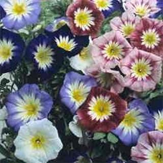 Amazon com: Convolvulus Dwarf Morning Glory - Flowers / Plants