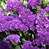 Aimado Seeds Garden-50 myosotis graines,fleurs bleu lavande, odorantes,Culture facile en massif, bordure et potée