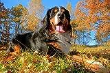 Puzzles para Adultos Rompecabezas de 500 Piezas - Perro de montaña Suizo de Berna Puzzles de Madera Familiar Descompresión para niños Adultos Regalos de cumpleaños