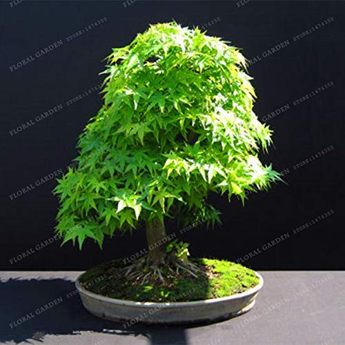 Bloom Green Co. 100{b0f869507965767eda7baa6f47b26a56924f4a9584d7ec322d5f1936281c6f82} Echte japanische Mini Maple Bonsai-Baum Günstige Bonsai 20PCS / Pack, sehr schöne Indoor Baumgarten-Anlagen