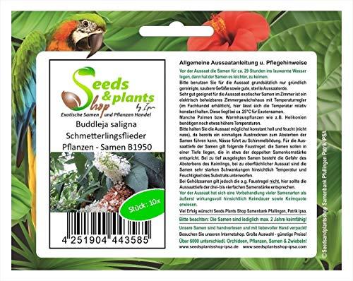 Stk - 10x Buddleja saligna Schmetterlingsflieder Pflanzen - Samen B1950 - Seeds Plants Shop Samenbank Pfullingen Patrik Ipsa