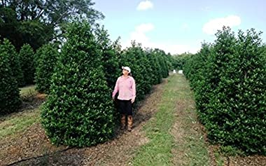 Nellie R. Stevens Holly - 30 Live Plants - Evergreen Privacy Hedge