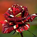 Bluelover Semi di 30Pcs Abracadabra Cina Rose Fai da Te Casa Giardino Decorazione...