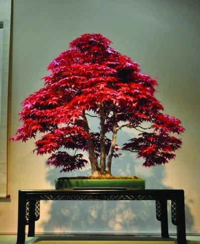 Rouge japonaise Maple Palmatum Atropurpureum, 10seeds/Pack, arbre graines de plantes Jardin Décoration, Semez toutes saisons!