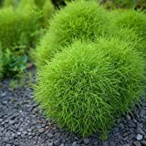 HOTUEEN 50pcs/ Bag Rare Kochia Grass Seeds Garden Fast-Growing Hardy Plants Grasses
