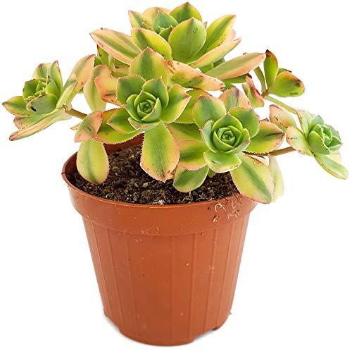 Fangblatt - Aeonium Kiwi - variegate Sukkulente - farbenfrohe kanarische Rose und pflegeleichtes Dickblatt - wunderschöne Zimmerpflanze