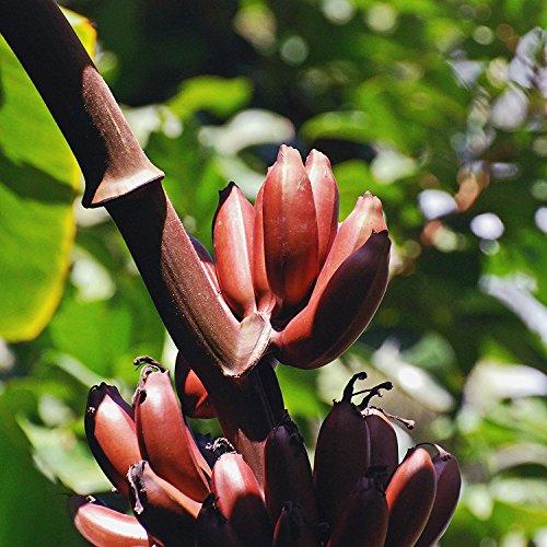 Musa Manii, Zwergbanane, 5 frische Samen, Tolle Blühte und Früchte