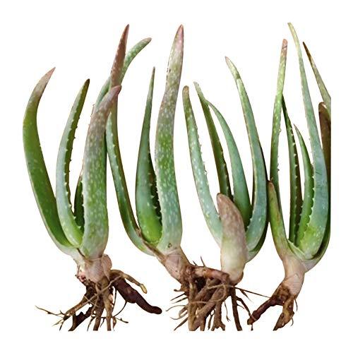 RAGARDEN Baby Aloe Vera Plants