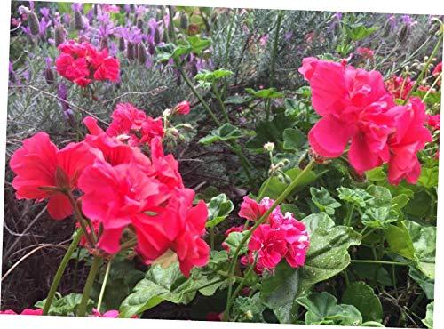 colorful indoor plants -Geranium Pelargonium