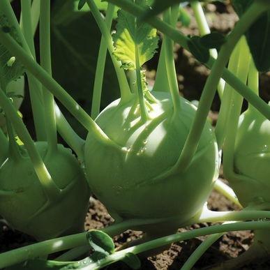 Korridor ORGANIC Kohlrabi Seeds (Brassica oleracea var. gongylodes) 20+ Rare Seeds + FREE Bonus 6 Variety Seed Pack - a $29.95 Value! In FROZEN SEED CAPSULES for Growing Seeds Now or Saving Seeds