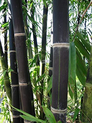15 graines de bambou noir Phyllostachys Nigra frais