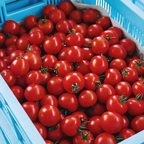 【数量割引有り】甘味と酸味のバランスが絶妙!プレミアムトマト おもいろトマト 1箱(約1.0kg)生食トマト