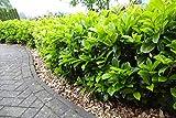 15st. Kirschlorbeer Rotundifolia 80-100cm im Topf Prunus laurocerasus Lorbeer schnellwachsend