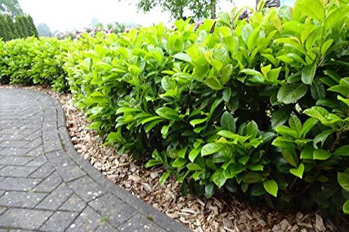 15st. Kirschlorbeer Novita XXL Buschig 40-60cm im Topf Prunus laurocerasus Lorbeer Gartenhecke Sichtschutz