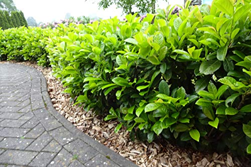 30st. Kirschlorbeer Novita 80-100cm im Topf Prunus laurocerasus Lorbeer Gartenhecke Sichtschutz