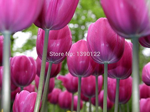 2014 Graines fraîches de 20 / sac tulipe The Seed Balcon Potted Four Seasons Is Easy Tulipes Graines Jardin Fleurs décoratives