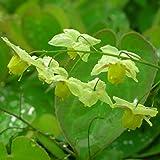 Blumixx Stauden Epimedium x versicolor 'Sulphureum' - Elfenblume, im 0,5 Liter Topf, schwefelgelb blühend