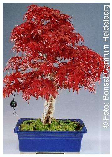 TROPICA - Érable du Japon rouge (Acer palmatum atropurpureum) - 20 graines- Bonsai
