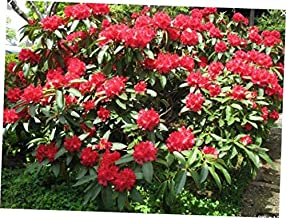 DAG 1 Bare Root Rhododendron 'Cherries and Merlot' Plant - RK1110
