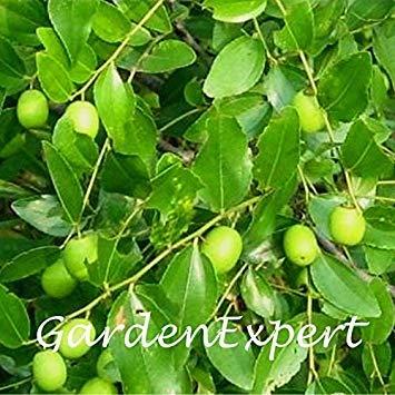 Fash Lady 15 pcs Axillary Choerospondias Fruit Graines Graines De Jujube Du Sud Graines D'arbres Fruitiers Maison Jardin Bonsaï Plante DIY