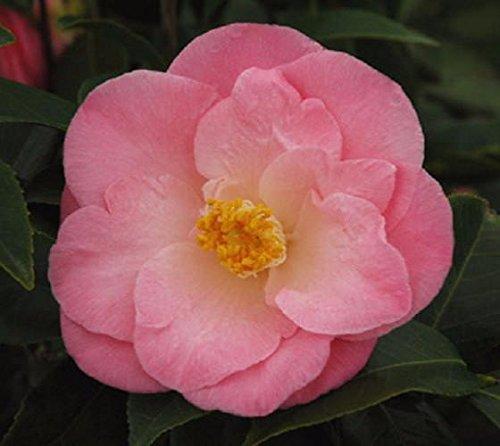 April Remembered Camellia Japonica ( Zone 6 ) - Live Plant - Quart Pot