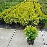 ShopMeeko SEEDS: 200 Sommerpflanzen ning s Schnelle Hardy s Pflanzen 98% Keimung Pla wachsen: SEEDS