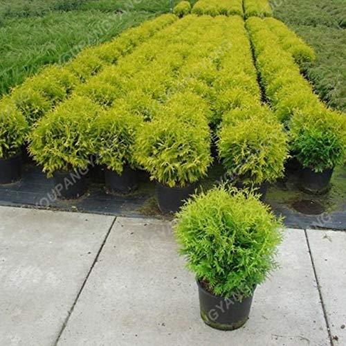 Elitely 35 Sommer-Zypresse-Samen Kochia Scoparia-Samen brennen Buschgras schnell wachsen Hardy Grassamen 98% Keimung Ornamental Pla: Cypress Seeds
