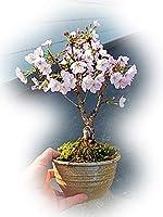 御殿場桜盆栽 一重のピンクかわいいミニサクラ盆栽 桜盆栽で自宅で お花見が楽しめます。