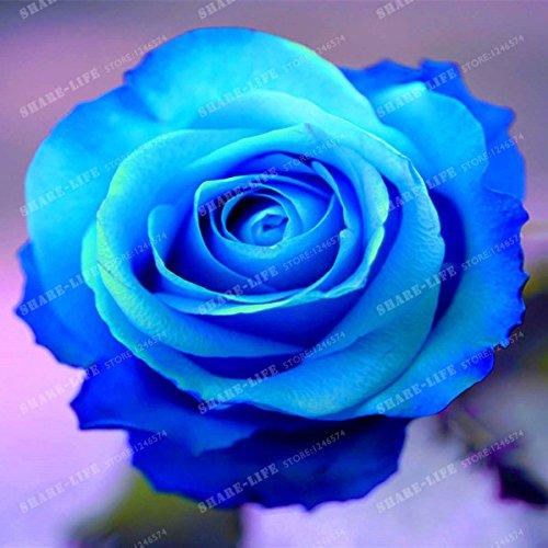 100 particules rares Bleu Rosa chinensis Belle Graines de fleurs Graines de fleurs Rose Arbuste parfum du thé Balcon Bonsai Jardin des Plantes 5