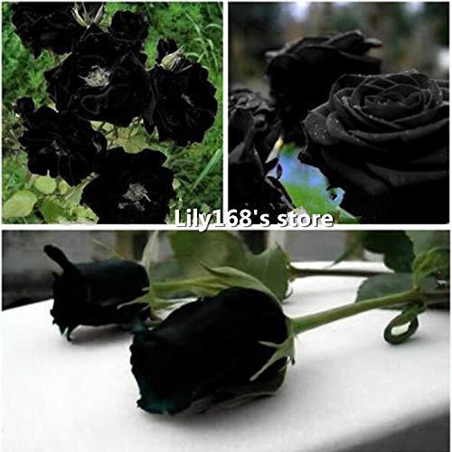 AGROBITS Chine Rare Black Rose Graines de fleurs 10pcs de haute qualité faciles à planter Family Garden Seeds La Rosa negra Semillas