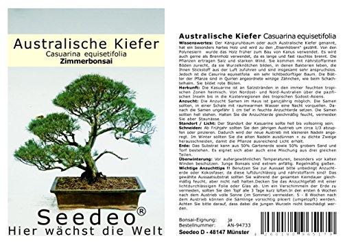Seedeo® Australische Kiefer (Casuarina equisetifolia) Bonsai 100 Samen