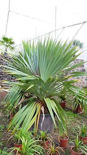 Große Schraubenpalme - Pandanus Utilis - verschiedene Größen (40-50cm - Topf Ø14cm)