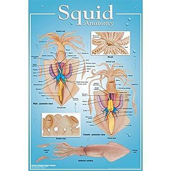 Best anatomy of squid Reviews