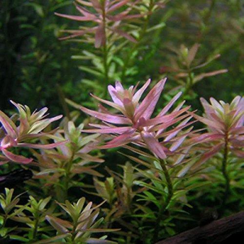 Rotala sp. Ceylon / Rotala sp. Pink - 1 Bund - Aquarium-Pflanze