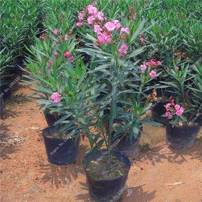 Nerium indicum Mill Fleur Nerium Oleander graines jardin Plantes ornementales Intéressant Bonsai Pots de fleurs Pots 50 Pcs 3