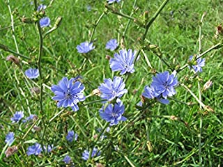 Chicory 2000 Seeds Easy Grow Plot Flower 207C Check Out Our Huge Selection of Seeds at Zellajake Farm and Garden!