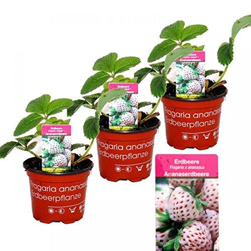 Weisse Ananas-Erdbeere - Set mit 3 Pflanzen - Fragaria - Ausgefallene Sorte für Liebhaber des besonderen