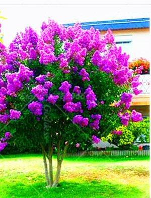 100 PC / bag Kreppmyrte - Lagerstroemia indica 'Natchez' Staude Blumensamen Hof Myrte Blumen Pflanze Hausgarten Topf 5