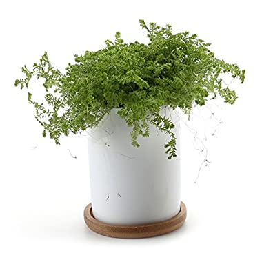 T4U 2.75 Inch Ceramic White Cylinder succulent Plant Pot/Cactus Plant Pot with FREE Bamboo Tray