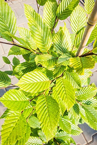 Späth Hainbuche,Weißbuche LH 80-100 cm im 7,5 Liter Topf Heckenpflanze Sichtschutz Zierstrauch winterhart 1 Pflanze