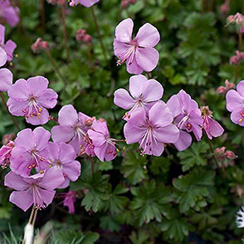 4 x Geranium Dalmaticum - Ooievaarsbek pot 9cm x 9cm