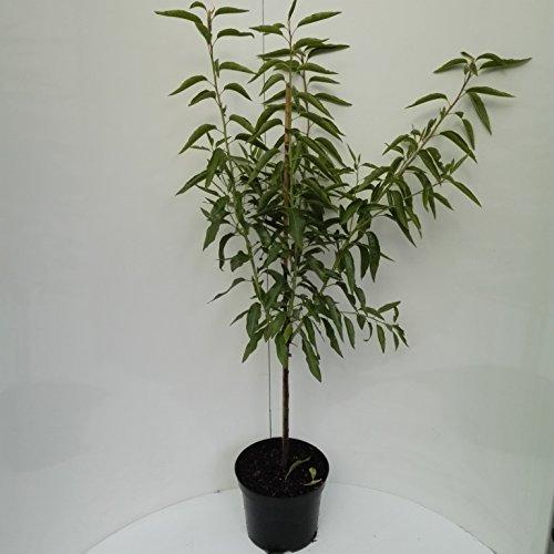 Müllers Grüner Garten Shop Mandelbaum Fruchtmandel Palatina® selbstfruchtbare Süßmandel Busch 150-170 cm Pflanze 10 L Topf