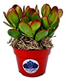 Fat Plants San Diego Succulent Plant(s) Fully Rooted in 4 inch Planter Pots with Soil - Real Live Potted Succulents/Unique Indoor Cactus Decor (1, Crassula Ovata Jade Plant)