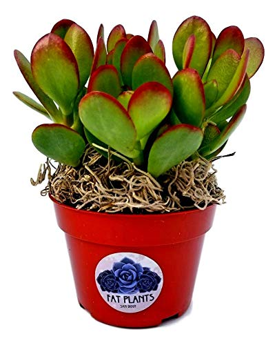 Fat Plants San Diego Succulent Plant(s) Fully Rooted in 4 inch Planter Pots with Soil -...