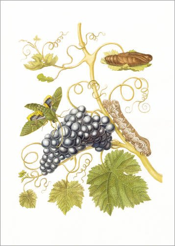 Posterlounge Leinwandbild 70 x 90 cm: Weinschwärmer von Maria Sibylla Merian - fertiges Wandbild, Bild auf Keilrahmen, Fertigbild auf echter Leinwand, Leinwanddruck