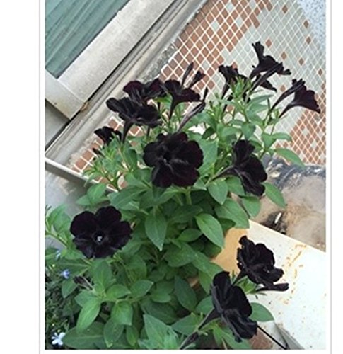 Raras Semillas de Super Cat Negro flor de la petunia Seeds100 / nuevo paquete anual Bonsai Petunia