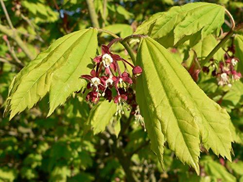 Weinblatt-Ahorn Ac. circinatum Pflanze 35-40cm Scharlach-Ahorn Ahorn Rarität