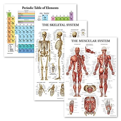"""3 Pack - Periodic Table of the Elements Poster [White] + Muscular & Skeletal System Anatomy Charts (LAMINATED, 18"""" x 24"""")"""
