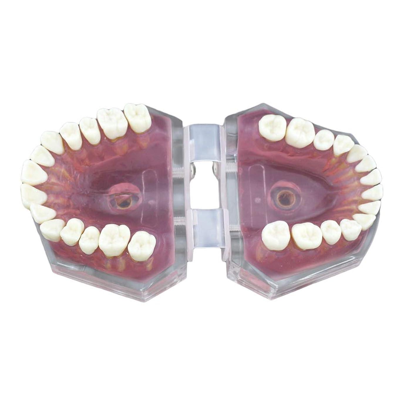 口ひげ質素なコーラスHealifty 28歯モデル教育歯歯モデル教育歯モデル子供の歯医者のための取り外し可能な歯モデル